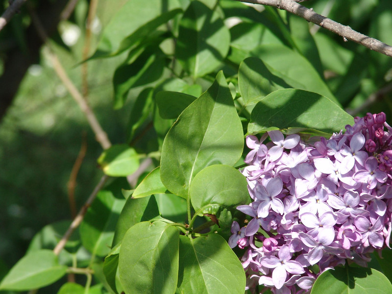 dr-lindley-DSC04085 Lilac photos by Deborah Carney