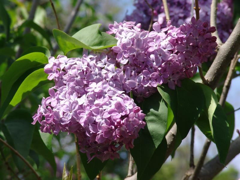 dr-lindley-DSC04087 Lilac photos by Deborah Carney