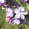 wonderblue-DSC03709 Lilac photos by Deborah Carney
