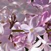 orthwaite-DSC01750 Lilac photos by Deborah Carney