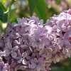 tournefort-DSC04020 Lilac photos by Deborah Carney