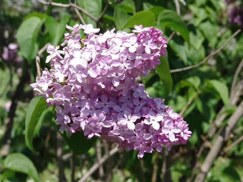 dr-lindley-DSC04080 Lilac photos by Deborah Carney