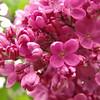 fenicchia-DSC04361 Lilac photos by Deborah Carney