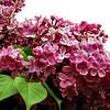 fenicchia-DSC04355 Lilac photos by Deborah Carney
