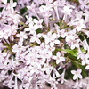 cutleaf-DSC01322 Lilac photos by Deborah Carney