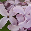serene-DSC01516 Lilac photos by Deborah Carney