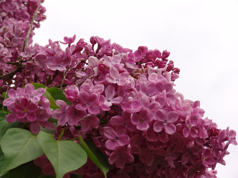 fenicchia-DSC04353 Lilac photos by Deborah Carney