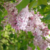 fenelon-DSC02843 Lilac photos by Deborah Carney