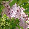 fenelon-DSC02843 Lilac photos by Deborah Carney