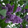Sensation Lilacs - My favorite lilacs. Image #DSC08895