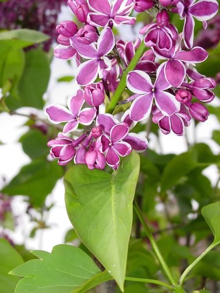 Sensation Lilacs - My favorite lilacs. Image #DSC01634