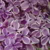 Sensation Lilacs - My favorite lilacs. Image #DSC08893