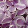 Sensation Lilacs - My favorite lilacs. Image #DSC08894