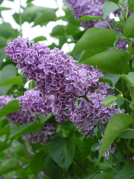 Sensation Lilacs - My favorite lilacs. Image #DSC08896