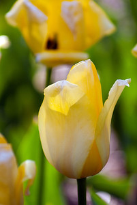 Tulips A to Z Part 2