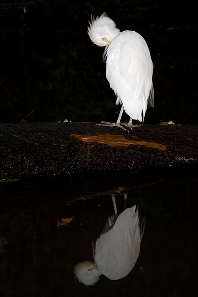 Related to the Snowy Egret which is slimmer and has a black bill and the Great Egret which is much taller and longer necked, this Cattle Egret lives during the winter months throughout the US and in South America year round.