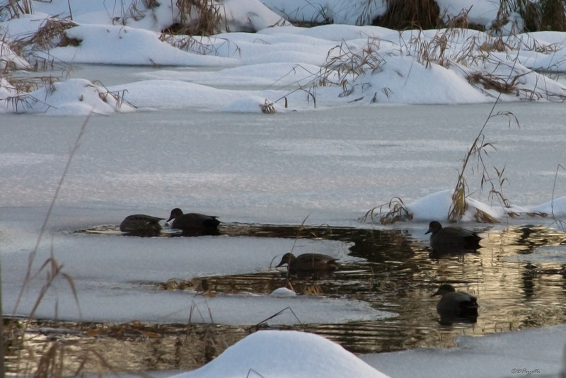 The ducks manage to find some water that isn't frozen