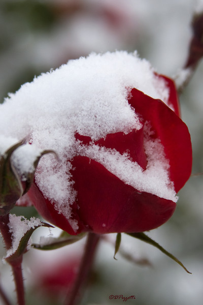 The first snow for the season, which eventually amounted to about 19 inches over a 2 week period, made December in Portland the snowiest month since January 1950 in a city more noted for winter rain.