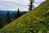 Dog Mountain, Columbia Gorge on the Washington side.  The hillside is covered with Arrowleaf Balsamroot.