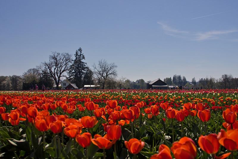 Tulips Festival, Oregon