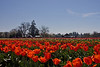 Tulips Festival, Oregon
