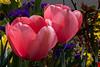Tulips in the neighborhood