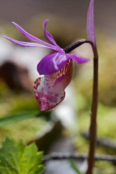 Rare Fairy Slipper Orchid.