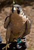 Portland Audobon Society has played a key role helping to recover peregrine falcons in Oregon