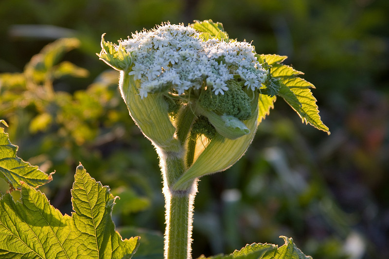 06-01-09 - Cape Falcon.  We took a late afternoon walk to catch the setting sun but the sunset didn't pan out.  Instead I caught this shot as the sun was setting.  I believe it is a Cow Parsnip that isn't quite open.  -Deb
