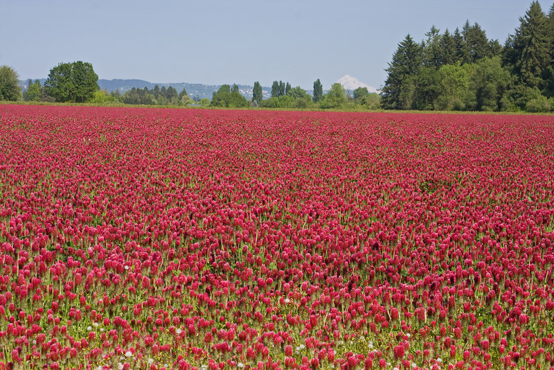 05-28-09:  The clover fields are now in full bloom.  This photo is taken from the farmlands west of Portland looking east toward Mt Hood (in the background).  -Deb