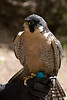 This peregrine falcon was born with a defective foot which made him incapable of hunting for food.  They are the fastest animals capable of diving at speeds of 200mph