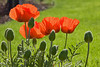 5-30-09:  Poppies in the afternoon sun - Deb