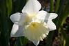 Dappled sun daffodil