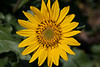 """05 - 27-09:  Final photo from Saturday's Hike to Dog Mountain.  This bright yellow flower in full bloom is called an Arrowleaf Balsamroot. (Asteraceae Family). Thank you for all your kind words on this mini series.  -Deb  Dennis has posted a gallery of pictures from this hike, <a href=""""http://2dphotography.smugmug.com/gallery/8317701_v8nQd"""">here</a>."""