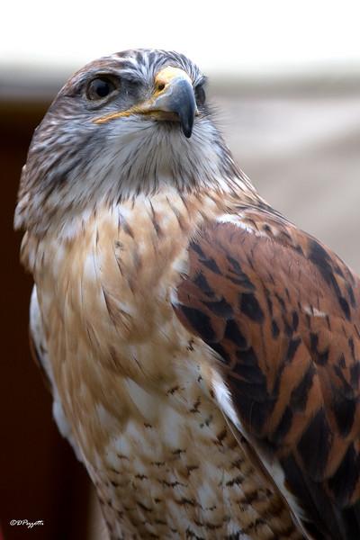 Ferruginous Hawk, Cove Palisades State Park.