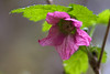 Salmonberry spring blossoms in the woods at Silver Falls State Park.