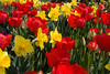 Daffodil and Tulips