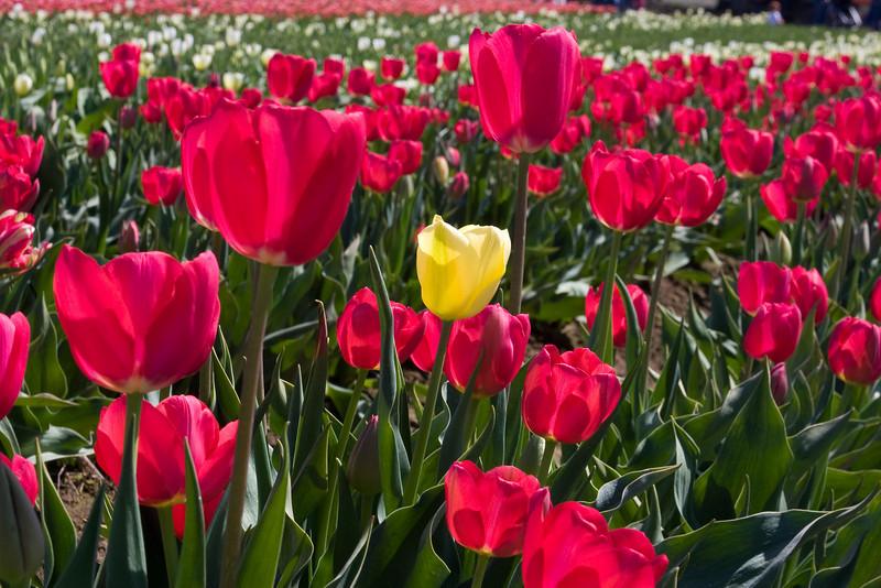 1 yellow tulip
