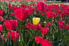 1 yellow tulip