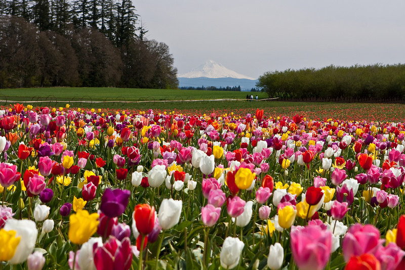 Another day in the tulip fields<br /> This time it was sunny, the fields were dry and Mount Hood was visible.<br /> ~Deb<br /> 4/3/2010