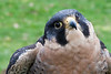Dreaming of Flying<br /> <br /> Went to Sauvie Island today to view the Raptor Road Tour.  Sauvie Island is rich with wildlife and has been designated an Important Bird Area (IBA) due to all the nesting, migrating, and wintering birds.  The Audubon Society was one of the sponsors and brought Finnegan the Peregrine Falcon from the Portland Wildlife Care Center.  At the time I was photographing him, a large flock of geese flew overhead and, of course, Finnegan had to watch.<br /> <br /> ~Deb<br /> 2/6/2010