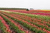 Wooden Shoe Tulip Farm<br /> ~Deb<br /> 4/5/2010<br /> <br /> @ Maryann - taken in Oregon east of Woodburn.  It is even more beautiful when you are standing there  even on a grey rainy day.  Thanks for the comment :-)
