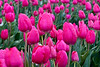Rainy Day at the Tulip Fields<br /> It was pouring and it was windy but I was determined to get some color in an otherwise grey day.<br /> Happy Easter<br /> ~Deb<br /> 4/4/2010