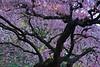 Flowering Cherry at the Portland Japanese Garden<br /> ~Deb<br /> 3/7/10