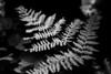 As the shadows were getting longer, the sun cast a few rays on this fern which made it a perfect candidate for black & white.