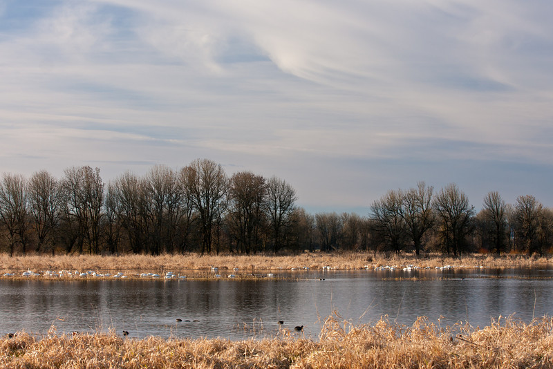 Ridgefield National Wildlife Refuge<br /> <br /> The refuge is on the Pacific Flyway and offers 5150 acres of resting and feeding areas for migrating birds.  I always enjoy seeing the Tundra Swans during the winter.<br /> <br /> ~Deb<br /> 2/5/2012