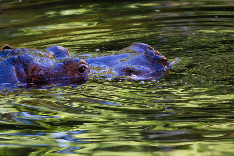 """There is an eagle in me that wants to soar, and there is a hippopotamus in me that wants to wallow in the mud.""<br /> Carl Sandburg<br /> <br /> They say a hippopotamus can hold its breath for 5 minutes. He was definitely wallowing!  I was watching this guy just under the water for what seemed to be FOREVER, waiting for the right moment as he came up.  <br /> Glad I waited; the water, the bubbles and the lighting came out just right.  <br /> <br /> No color modification.<br /> ~Deb<br /> 10/6/2012"