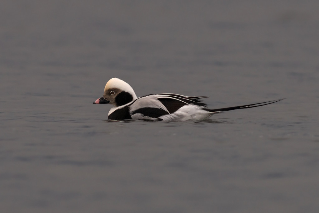 Long - tailed duck deep bay bc