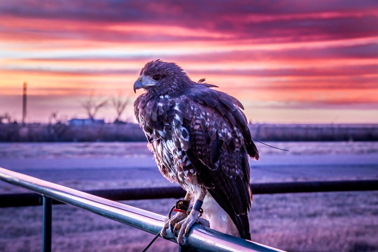 Cooper's Hawk Sunset