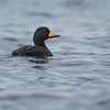 black scoter qualicum bc